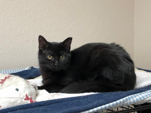 Billy, an adoptable Domestic Short Hair & American Shorthair Mix in Monroe, MI