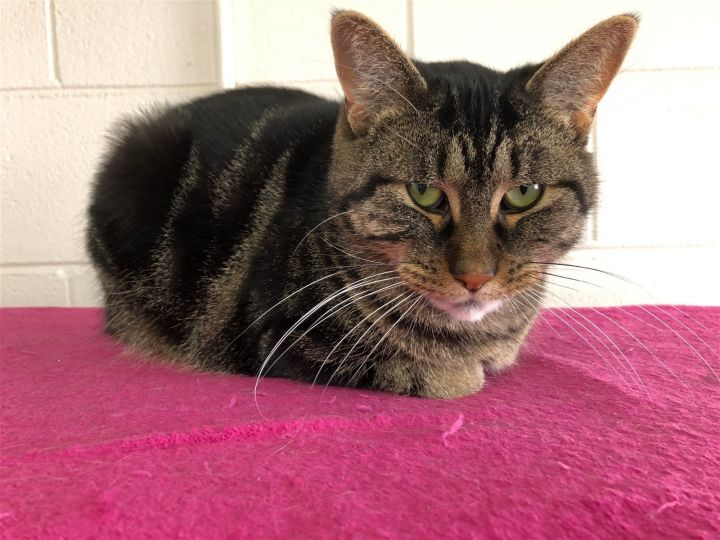 Boyer, an adoptable Tabby & Domestic Short Hair Mix in Monroe, MI