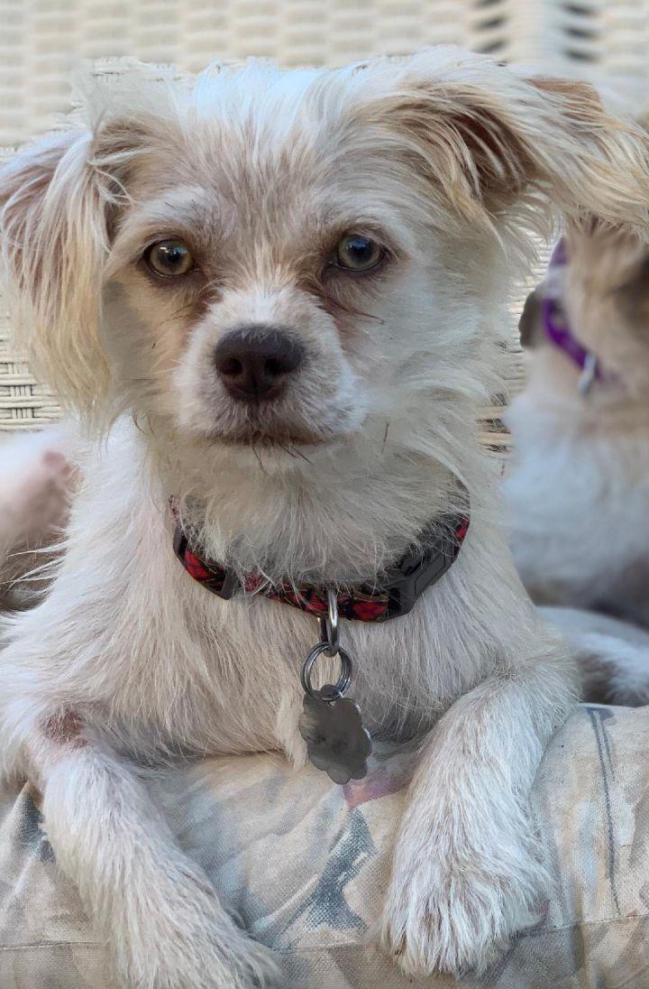 Dog For Adoption Milo A Shih Tzu Terrier Mix In Santa Monica