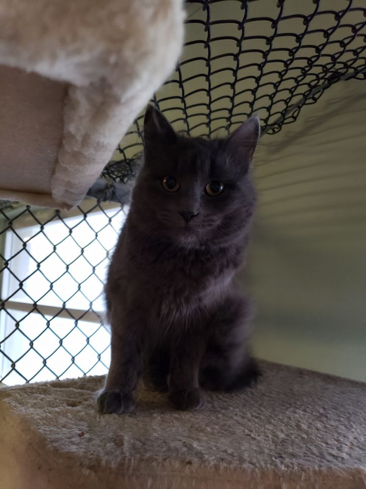 Fuzzy, an adopted Russian Blue & Chartreux Mix in Mendham, NJ