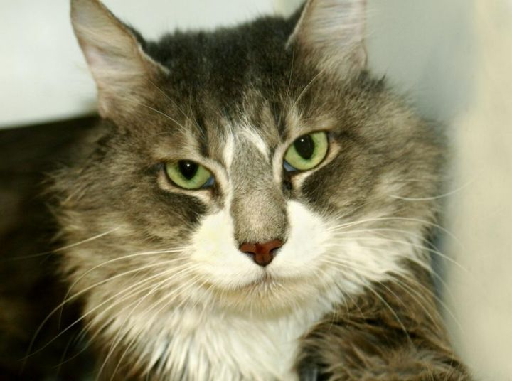 Jiggy Stardust MC, an adoptable Maine Coon in New York, NY