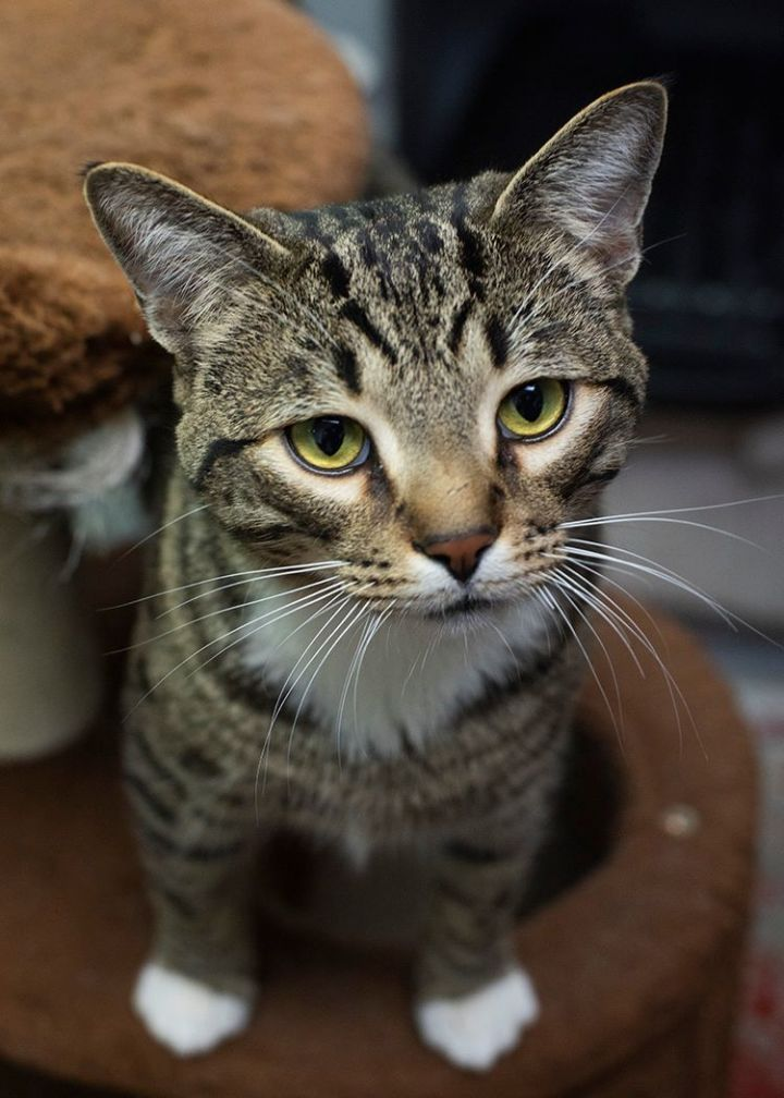 Jasper, an adoptable Domestic Short Hair in Fort Smith, NT