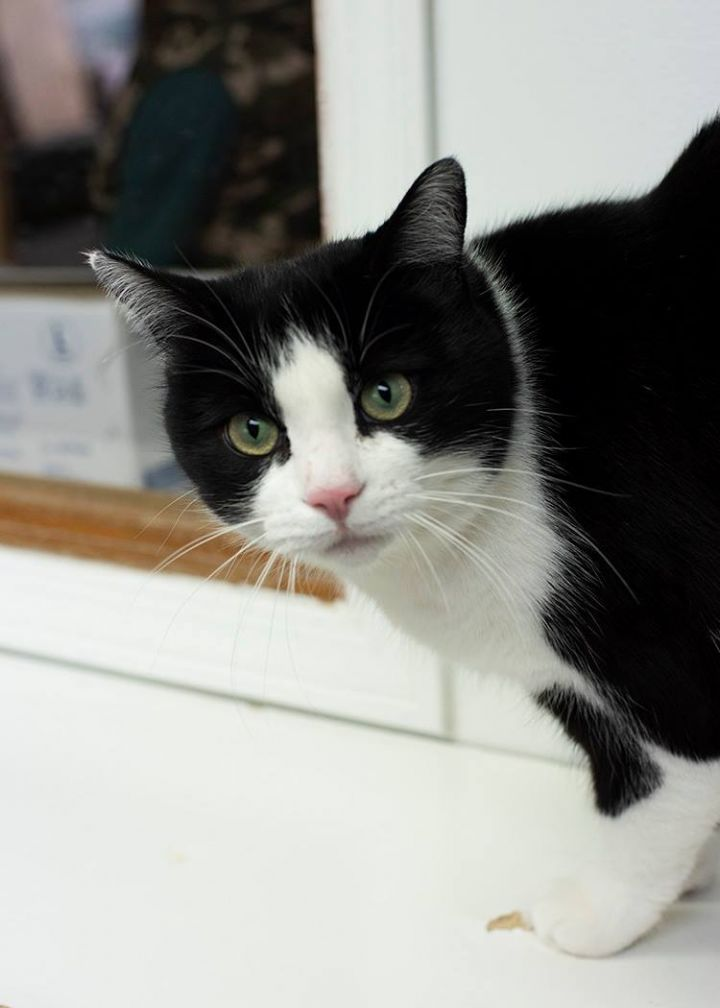 Kiwi, an adoptable Tuxedo in Fort Smith, NT