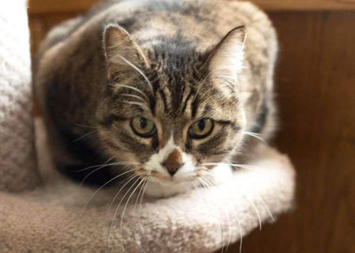 Sandy, an adoptable Domestic Short Hair & Tabby Mix in Fort Smith, NT