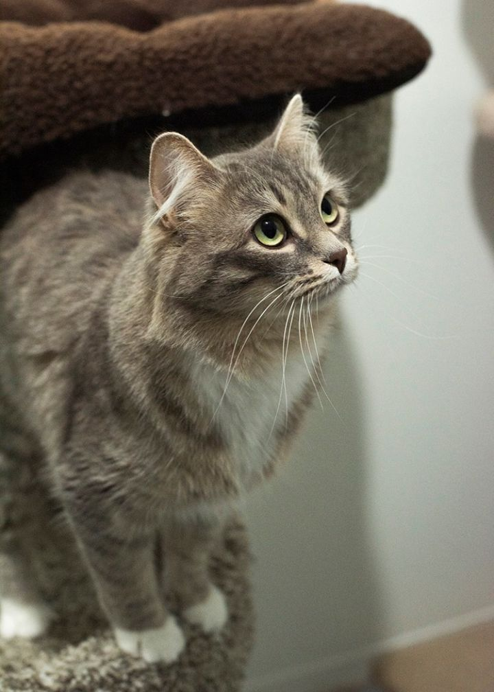 Socrates, an adoptable Domestic Medium Hair in Fort Smith, NT