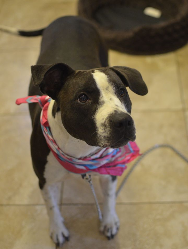 Izzy, an adopted American Staffordshire Terrier & Staffordshire Bull Terrier Mix in Santa Ana, CA
