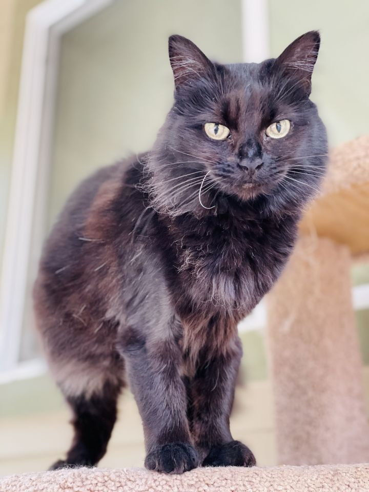 Crook, an adoptable Domestic Medium Hair in Jacksonville, OR