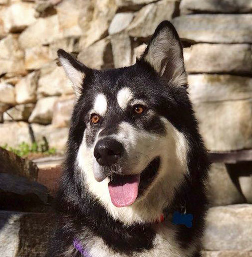 Dog for adoption - CASH, an Alaskan Malamute in Boise, ID | Petfinder