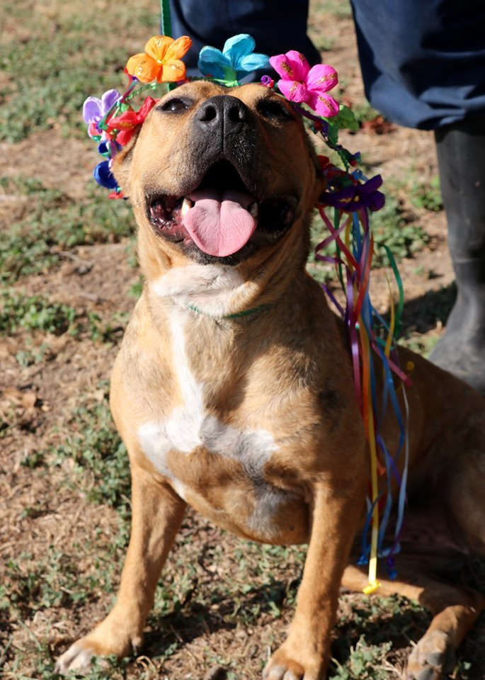 Hazel JuM, an adoptable Pit Bull Terrier Mix in Von Ormy, TX