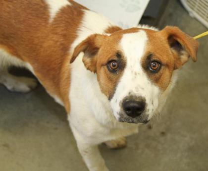 Dog For Adoption Conner A Cattle Dog Mix In Bowling Green Ky