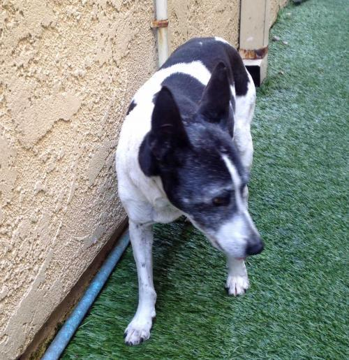 Ernie (in Escondido), an adoptable Jack Russell Terrier in Lompoc, CA