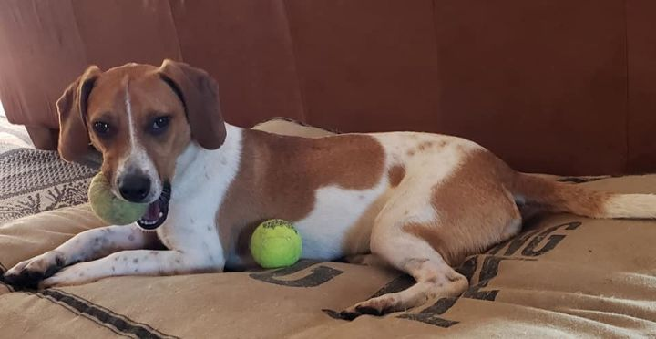 Buddy #84, an adoptable Jack Russell Terrier & Beagle Mix in Minneapolis, MN