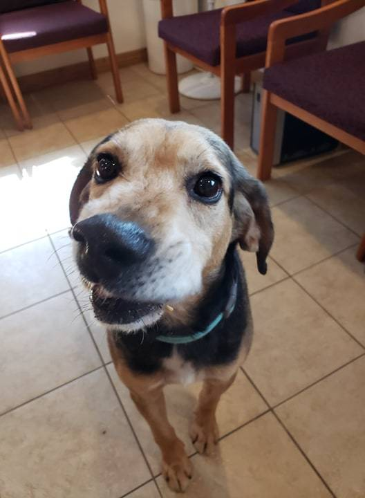 Leo, an adopted Hound & Shepherd Mix in Sparta, WI