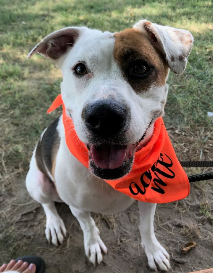 Sparkles, an adoptable Pit Bull Terrier in Queenstown, MD