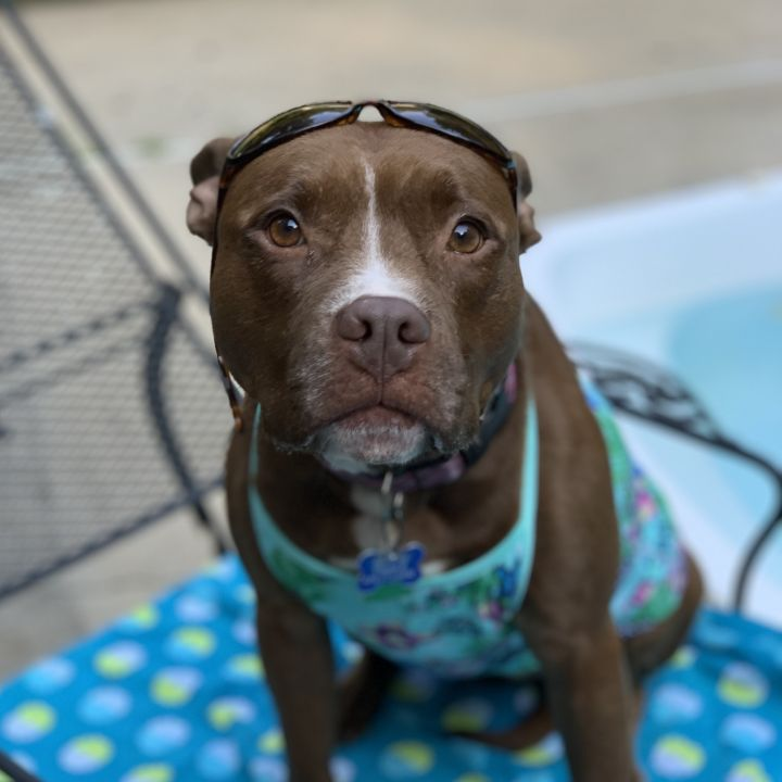Dog for adoption - Brownie, an American Staffordshire
