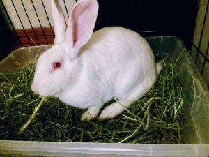 Rabbit for adoption - Unicorn, a New Zealand in Utica, NY