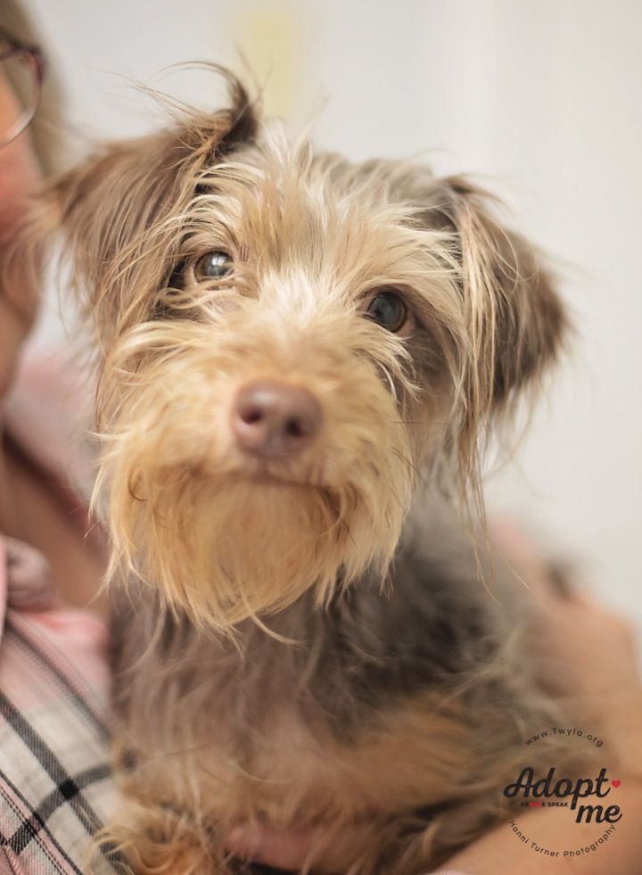 CindyLou, an adopted Miniature Schnauzer & Yorkshire Terrier Mix in Kingwood, TX