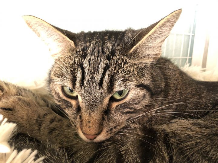 Sherlock, an adoptable Domestic Short Hair in Redmond, WA