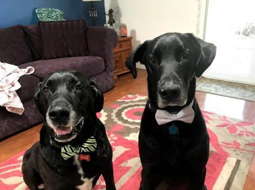 Dog for adoption - Zeus (Bonded w/ Max), a Labrador