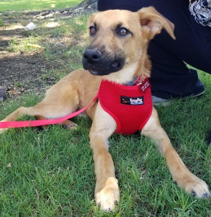 Dog for adoption - CHASE, a Shepherd & Redbone Coonhound Mix