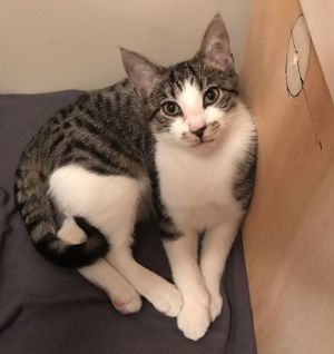 Cat for adoption - Bandit (approx 10 months), a Domestic