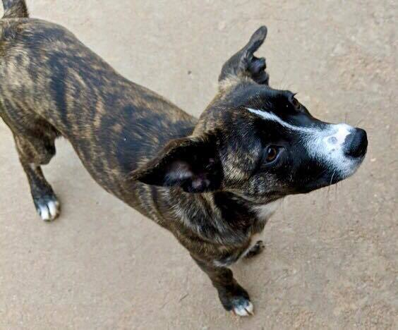 Dog for adoption - Sadie, a Mountain Cur Mix in Wichita