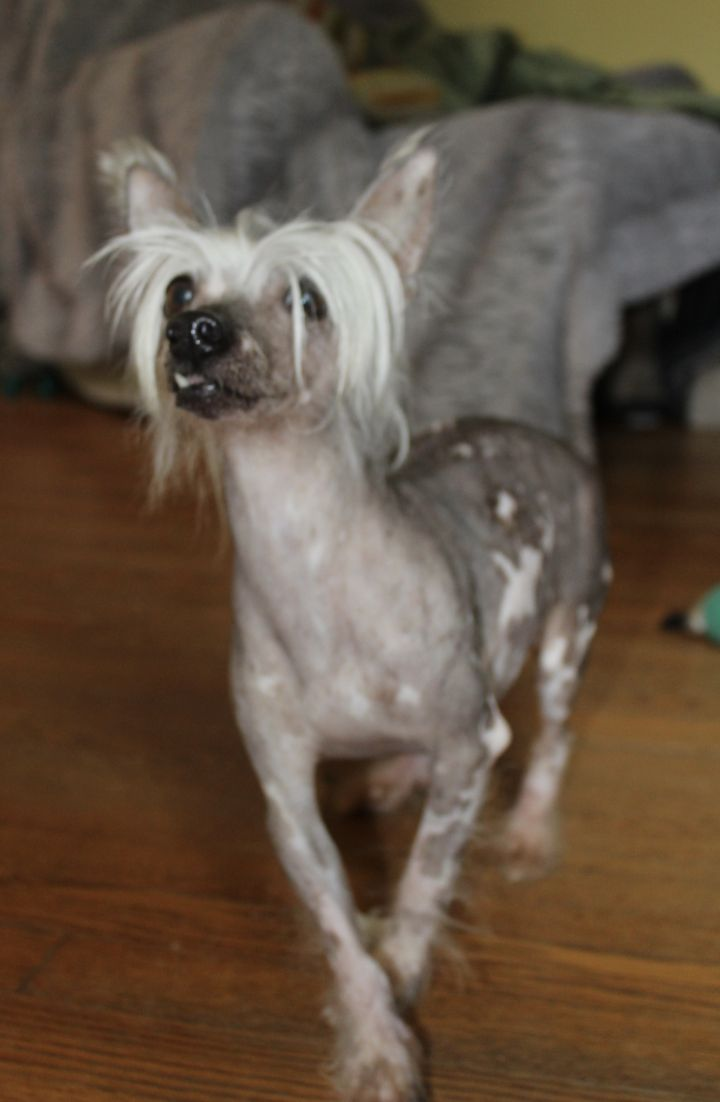 Dog for adoption - Short Stack, a Chinese Crested Dog in