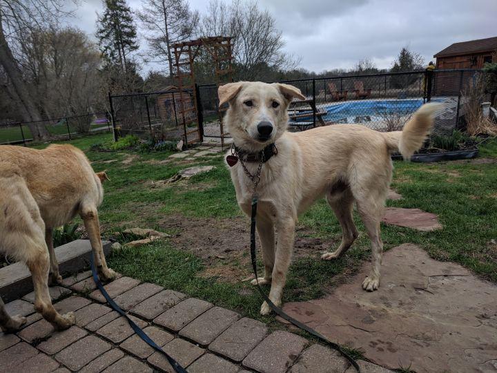Dog for adoption - Tango, a Golden Retriever & Labrador