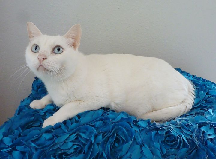 Bloom, an adopted Domestic Short Hair in League City, TX