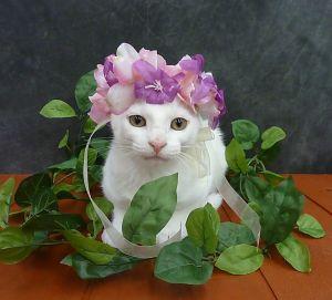 Azalea - Solid White Kitten