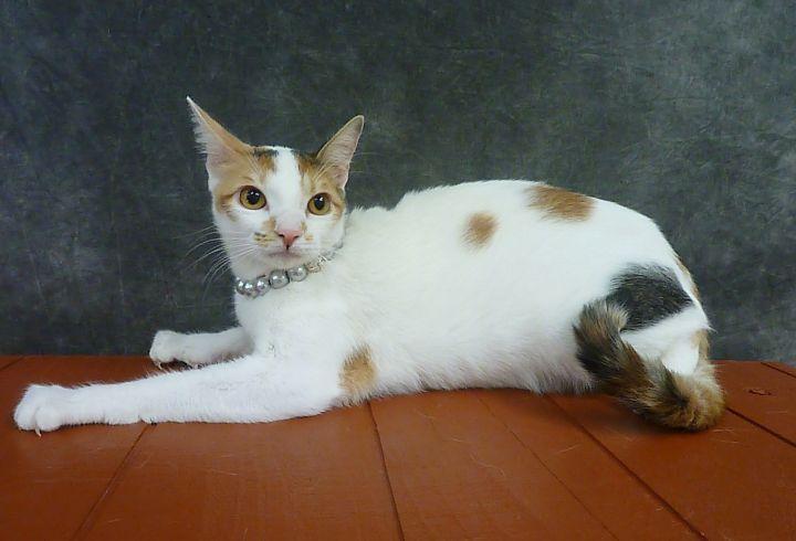 Begonia - Calico Kitten 3