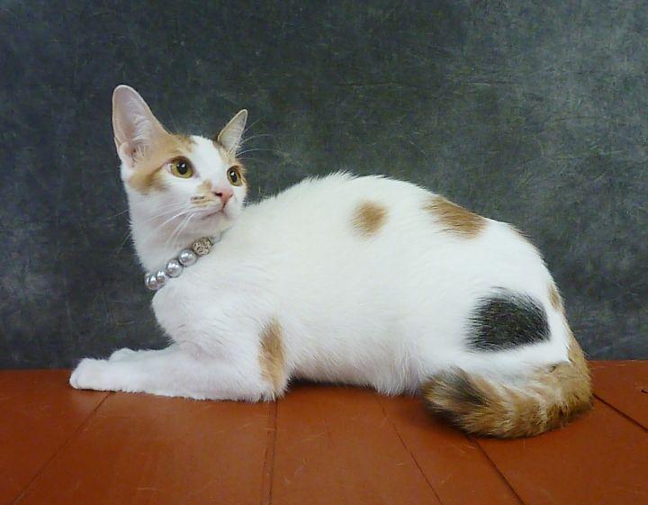Begonia - Calico Kitten 1