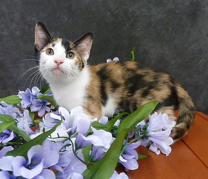 Camellia - Calico Kitten, an adoptable Calico & Domestic Short Hair Mix in League City, TX