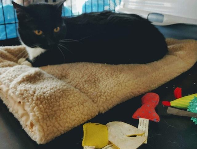 Buffy, an adoptable Domestic Short Hair in Fredericksburg, VA