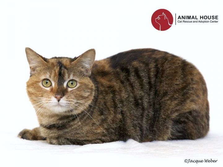 Maria, an adoptable Domestic Short Hair in St. Louis, MO