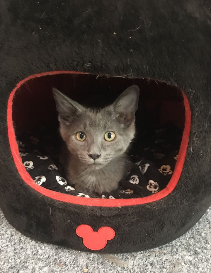 Zoinks, an adopted Domestic Short Hair Mix in Cincinnati, OH