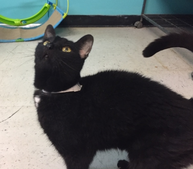 Precious, an adopted Domestic Short Hair in Spencer, IN