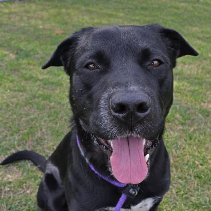Bubba, an adopted Labrador Retriever Mix in Madison, WI