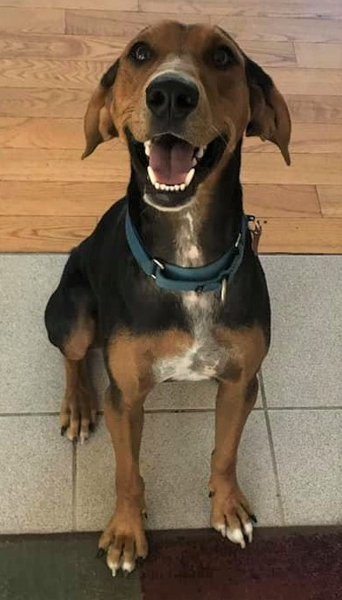 Tango *HERE IN NH*, an adoptable Hound Mix in Northwood, NH