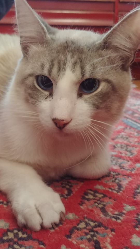 Cat For Adoption Simba A Snowshoe Ragdoll Mix In Beverly Hills