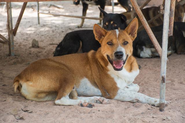 Dog for adoption - Hilfiger, an Australian Cattle Dog / Blue