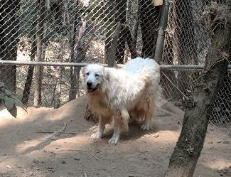 LEO, an adoptable Great Pyrenees in Point Richmond, CA