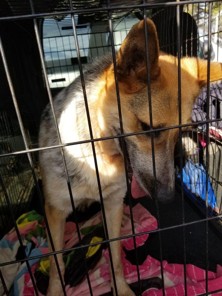 Dog for adoption - Blizzard, a Shepherd & Australian Cattle Dog