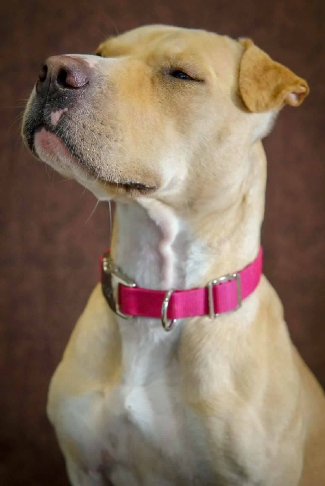 Dog for adoption - Tully, a Pit Bull Terrier & Shar-Pei Mix