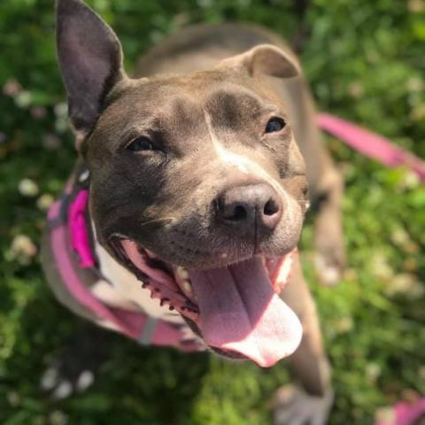 Mama Bear, an adoptable Pit Bull Terrier in Madison, WI