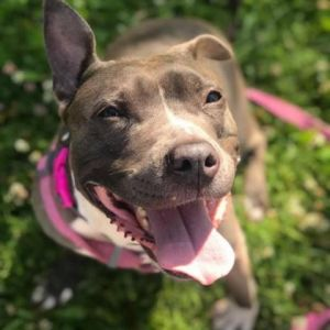 Dog for adoption - Mama Bear, a Pit Bull Terrier in Madison