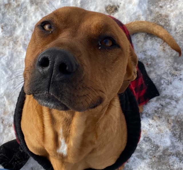 Star, an adoptable Pit Bull Terrier Mix in Rifle, CO