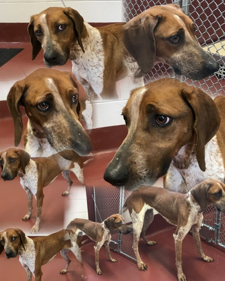 Ruby, an adopted Redbone Coonhound in Hot Springs, VA