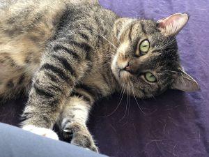 Denise American Shorthair Cat