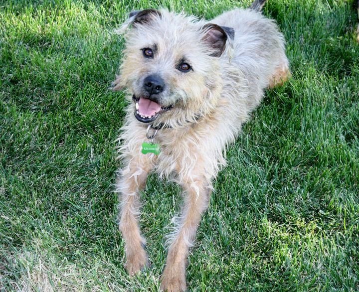 Bugle - 38 lbs!  Low shedding!, an adopted Wirehaired Pointing Griffon & Border Terrier Mix in Pasadena, CA